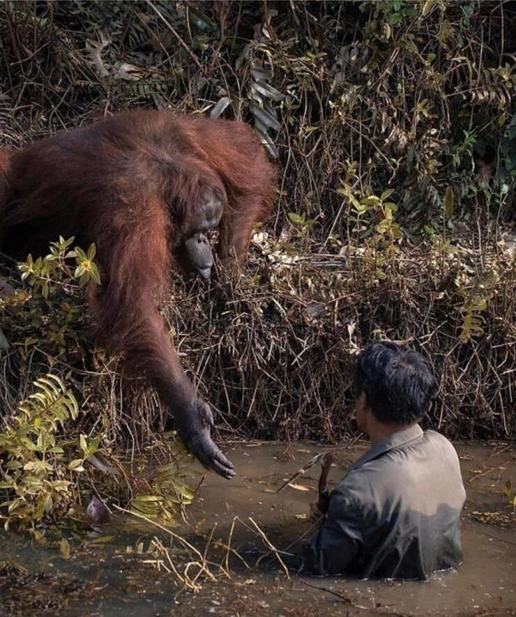 37. Орангутанг протянул руку человеку, который, как ему показалось, тонул в реке. На самом деле тот ловил змей, чтобы уберечь обезьян от их смертельных укусов