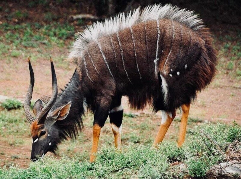 Необычная африканская антилопа ньяла