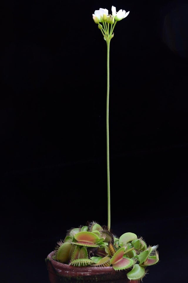 Плотоядные растения Венеры имеют цветы. Они растут высоко, чтобы не попасть в свои собственные ловушки