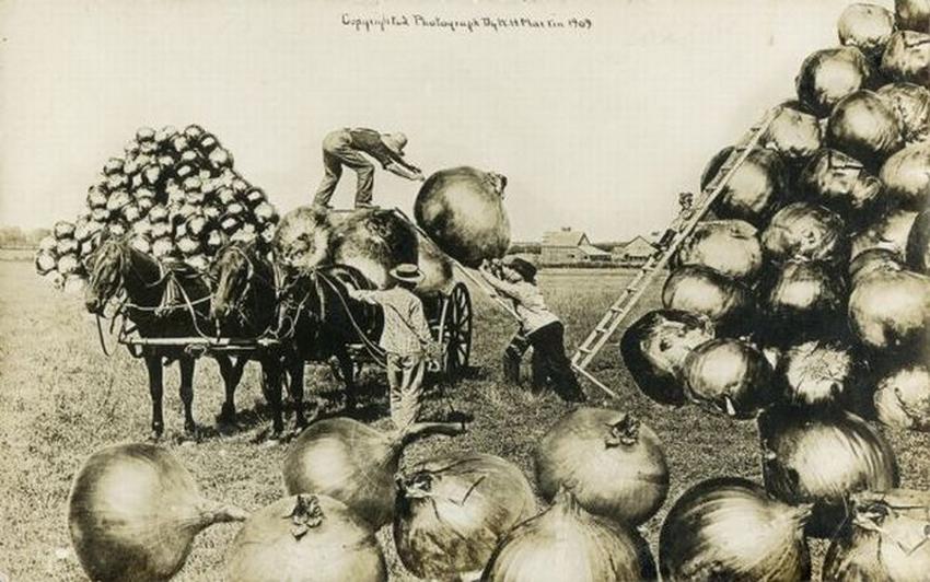 Овощи-гиганты: как это было