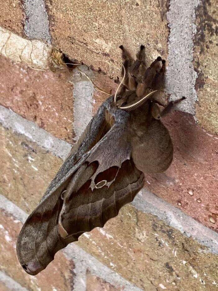 Бабочка Antheraea Polyphemus - просто тарантул с крыльями