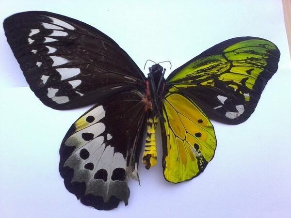 Эта бабочка - двусторонний гинандроморф: наполовину самец, наполовину самка