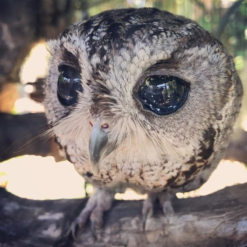 Звезды в глазах у совы