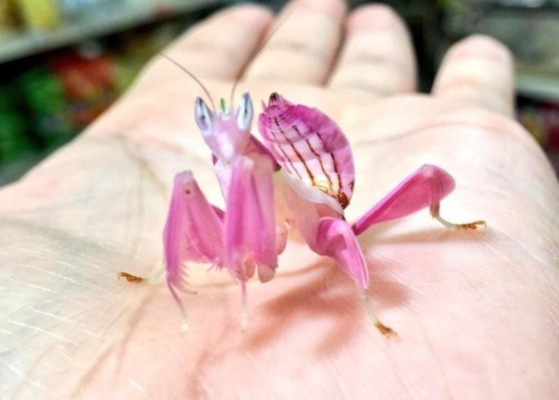 Это не орхидея, а богомол