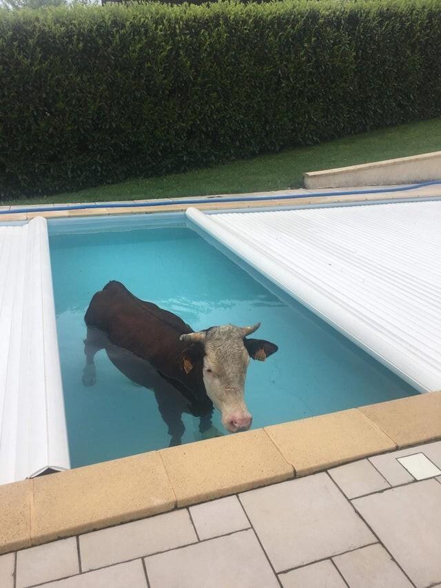 Хозяева не ожидали увидеть корову в бассейне