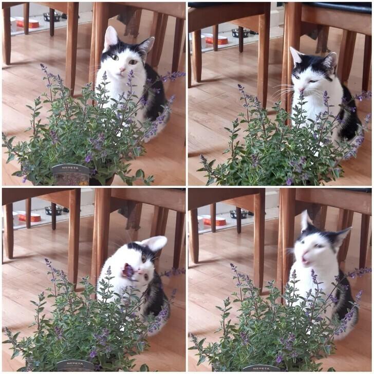Стадии первой встречи с кошачьей мятой