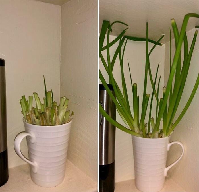"""25. """"Каждый раз, когда вы покупаете зеленый лук, используйте верхнюю часть, а корни поставьте в чашку с водой. Лук вырастает за несколько дней. Можно повторять до 2-4 раз"""""""