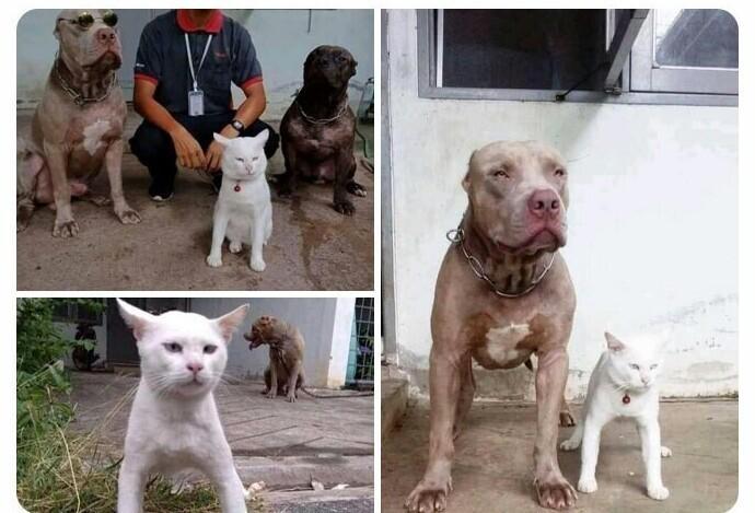 Он вырос с питбулями и, кажется, даже не подозревает, что он кот, а не собака