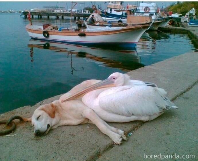 Пеликан подружился с бездомной собакой, они всегда были вместе. Местный мужчина взял собаку к себе в дом, но продолжает каждый день приводить пса сюда, чтобы они с пеликаном Пети могли пообщаться и поиграть