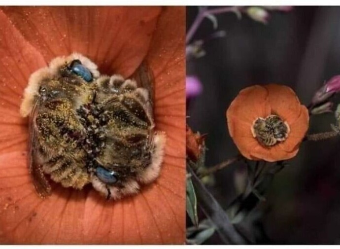 А вы знаете, что пчелы спят 5-8 часов в день, и в теплое время года чаще всего - в цветах?