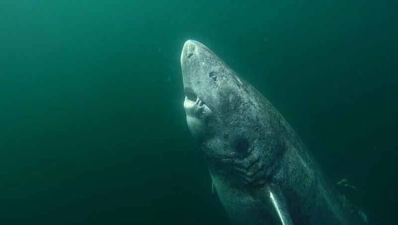 22. 392-летняя гренландская акула, блуждающая по океану с 1627 года