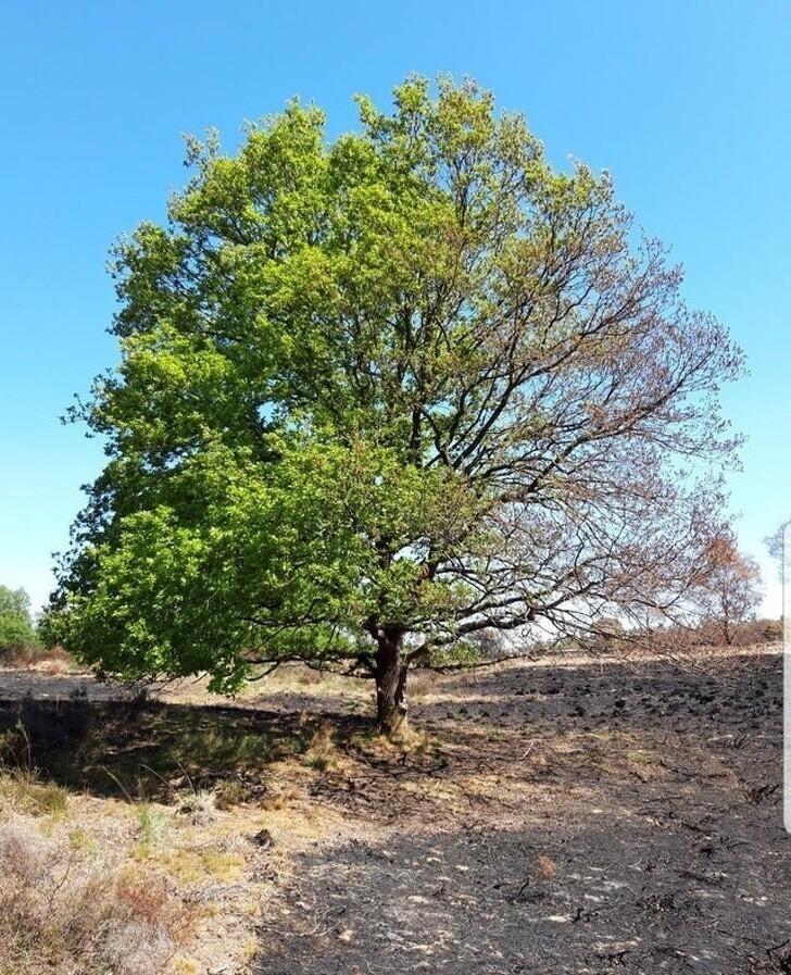 20. Дерево, спасенное от пожара наполовину