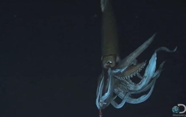 13. Прямо сейчас где-то в океане плавают гигантские кальмары размером с автобус.