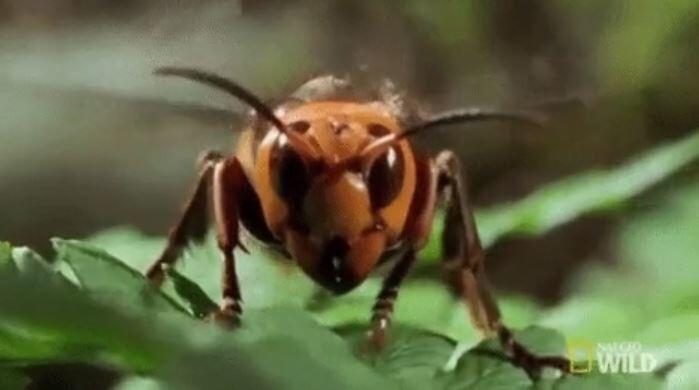 2. Яд японского шершня (Vespa mandarinia) настолько сильный, что может растворить человеческую плоть