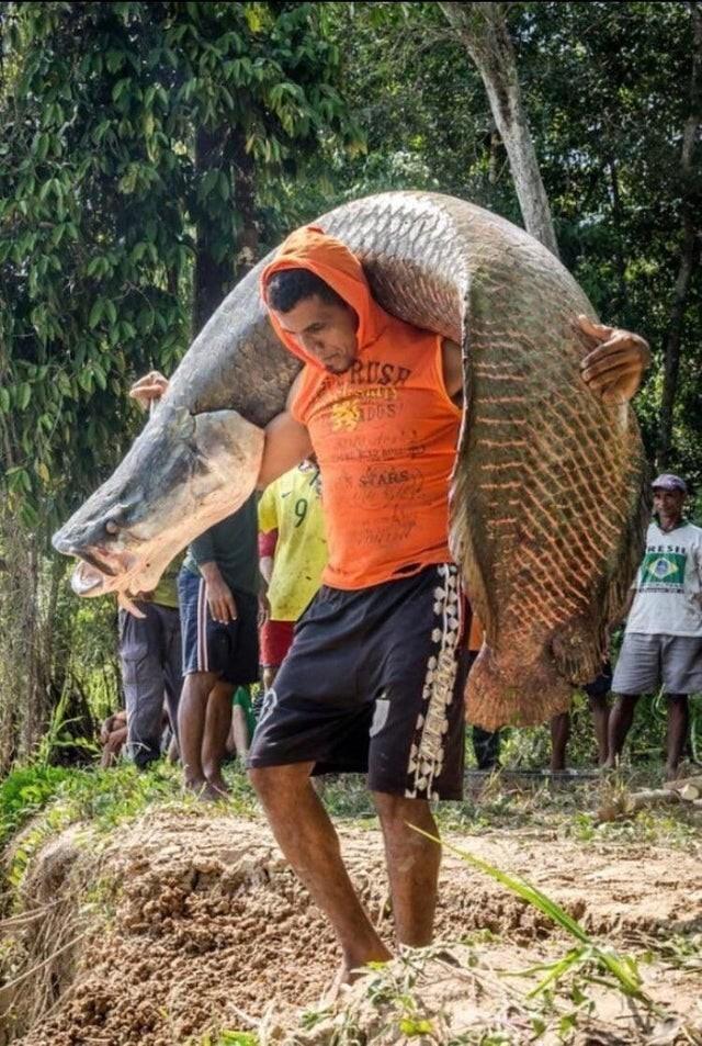Арапайма - одна из самых крупных пресноводных рыб