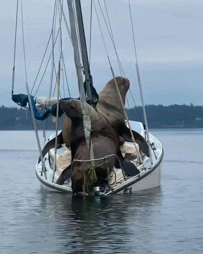 Морские львы, по сравнению с лодкой