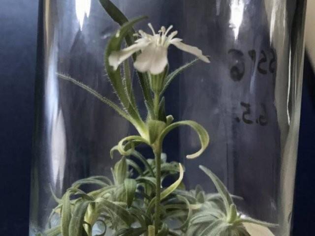 14. Ученые возродили растение эпохи плейстоцена. Этому цветку 32 000 лет