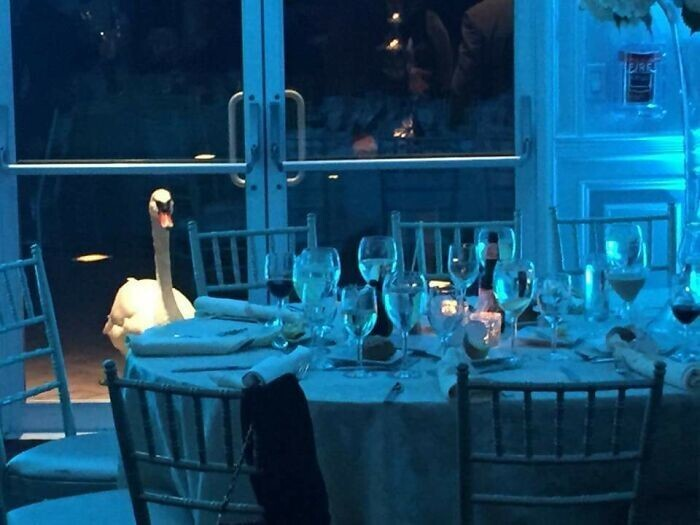 """29. """"Мой приятель был на свадьбе, и этот лебедь не переставал пялиться на него через дверь"""""""