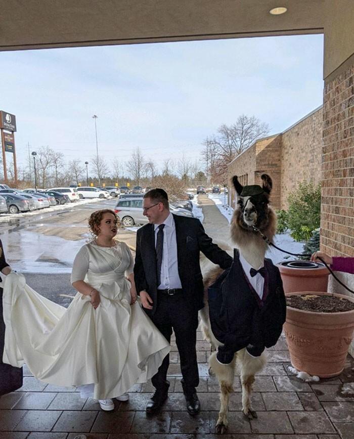 17. 5 лет назад я пообещал сестре, что приведу на ее свадьбу ламу