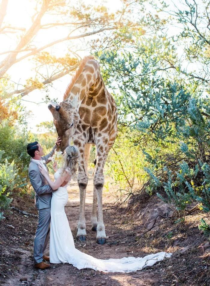 14. Неожиданный гость заглянул на свадьбу, которая проходила в заповеднике Южной Африки