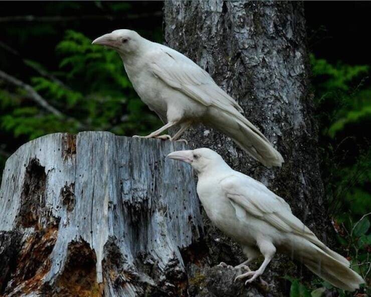 Вороны-альбиносы