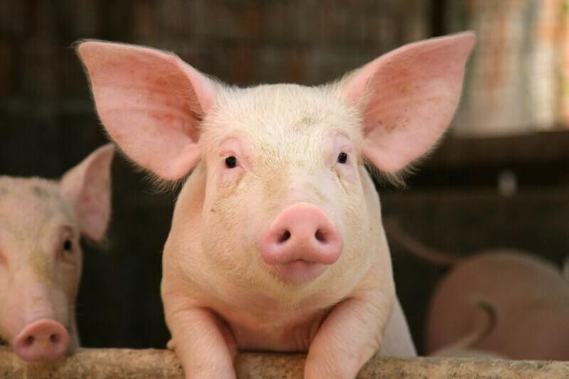 В 1859 году американский фермер застрелил свинью, которая поедала его картофель. Та свинья принадлежала британскому колонисту. Начался конфликт с участием 461 американцев с 14 артиллерийскими установками, и 2140 британцев с 5 кораблями