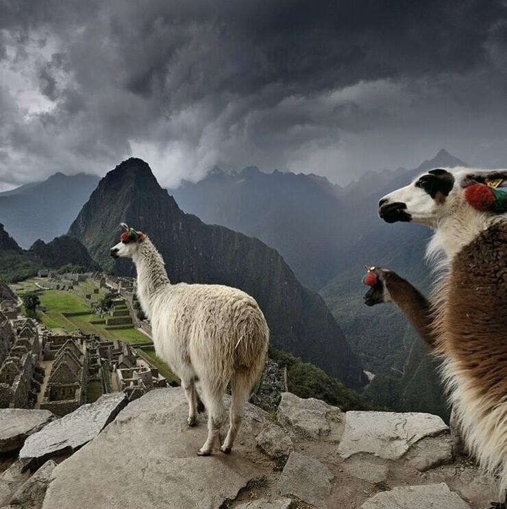 На самом деле лама звонит в колокольчик