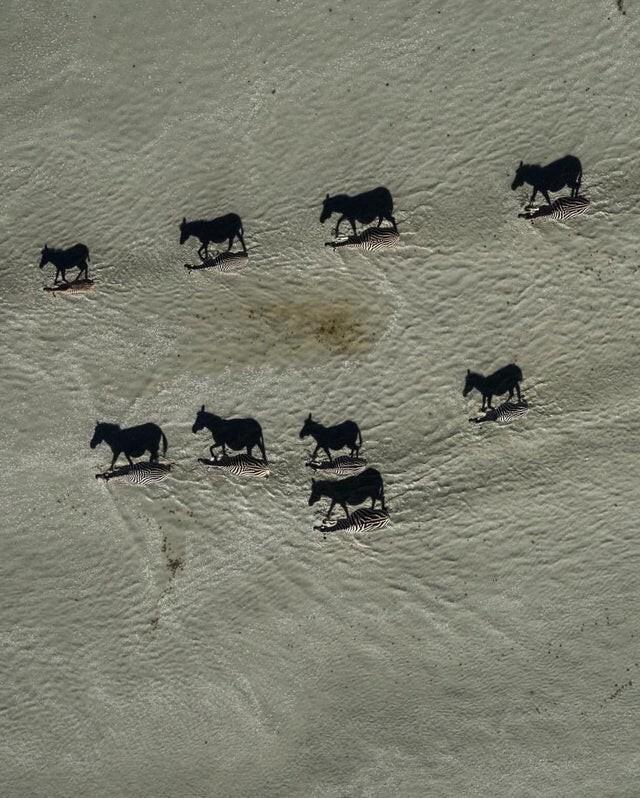 Когда тени доминируют. Эта интересная фотография зебр, пересекающих солончаки, была сделана в Макгадикгади, Ботсвана