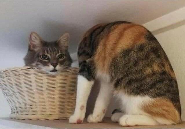 Почти безголовый кот