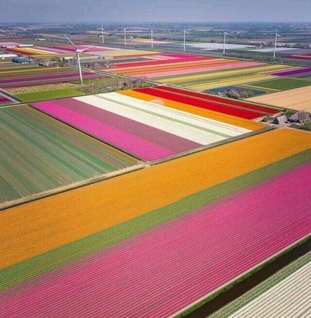 Если приехать в Голландию в сезон цветения тюльпанов, можно насладиться видом разноцветных полей