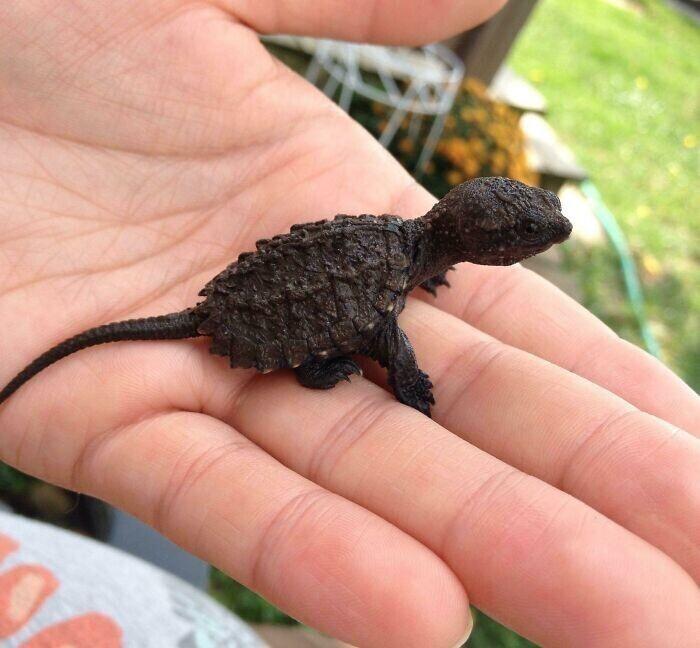 Малыш каймановой черепахи