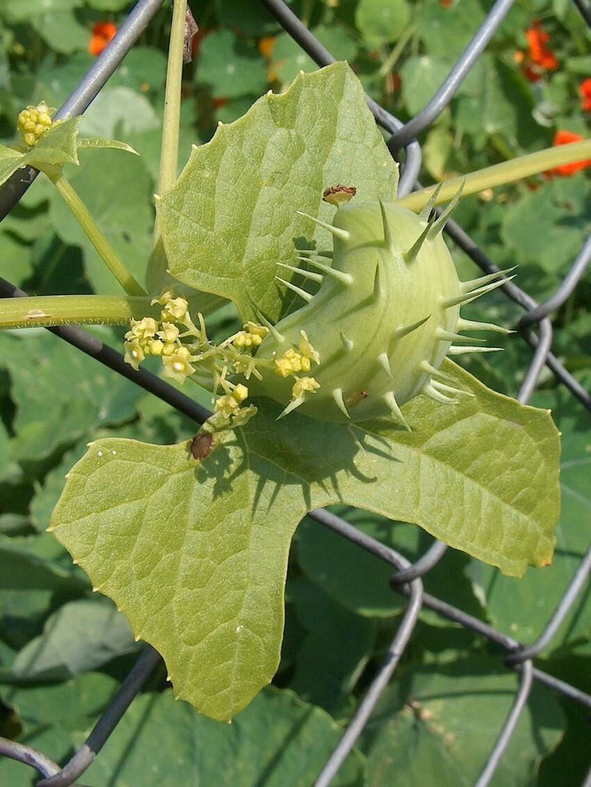 Cyclanthera explоdens (Циклантера взрывающаяся)