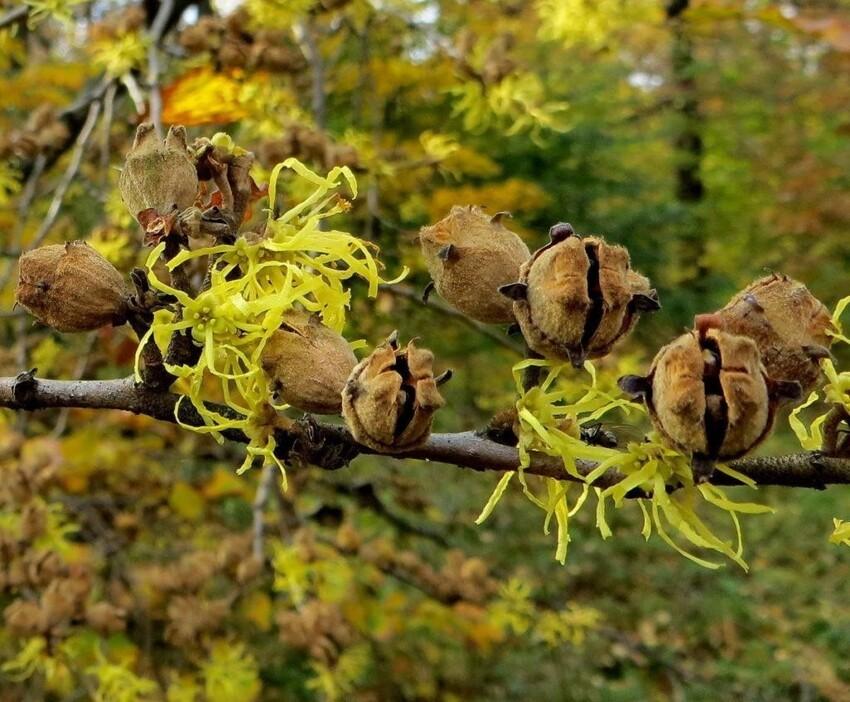 Гаммамелис виргинский известен способностью стрелять семенами со скоростью более 12 метров в секунду