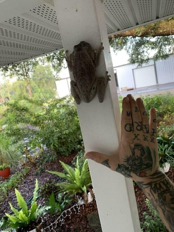 """""""Ко мне зашла в гости гигантская древесная лягушка"""""""