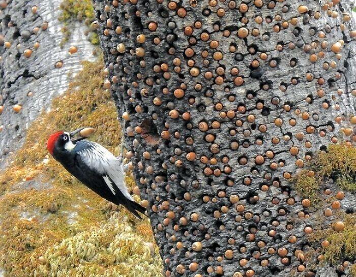 1. Муравьиный дятел и его склад желудей в дереве