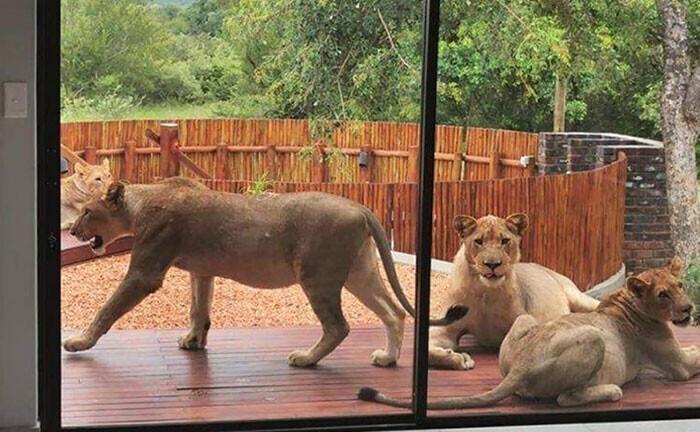 """""""В Австралии куча животных повсюду, говорите? Мы в Южной Африке тоже не скучаем. У меня, например, отменяется сегодня выход из дома"""""""