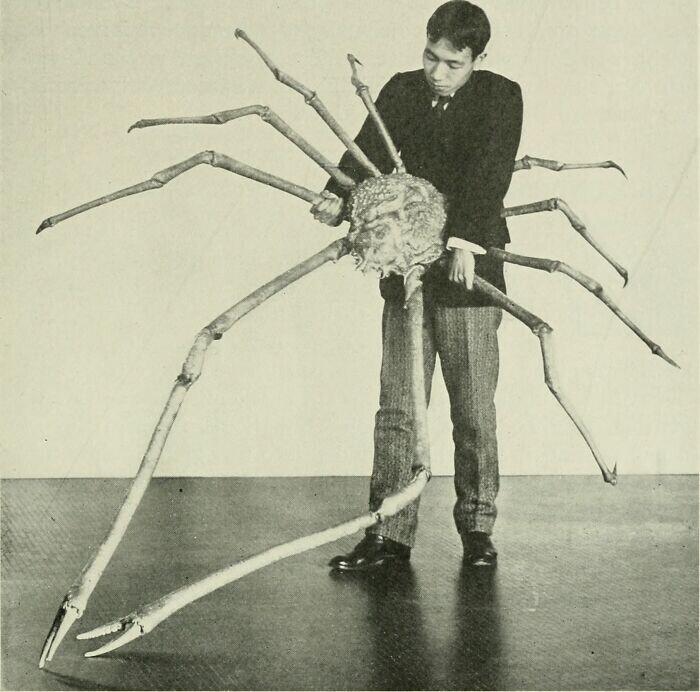 Японский краб-паук - существо из кошмаров