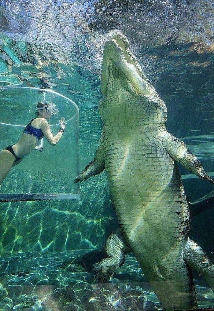 Морской крокодил - самая крупная из современных рептилий