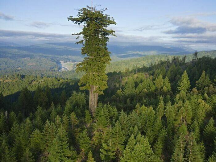 Секвойя в еловом лесу