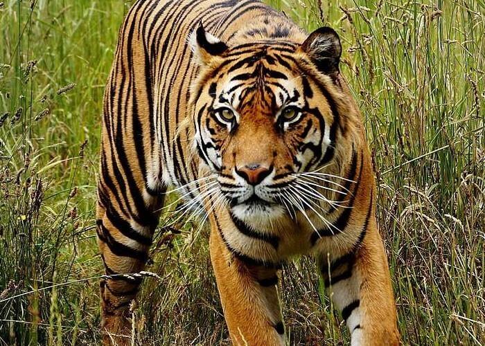 Тигры почти невидимы для некоторой добычи, ведь многие животные не различают оранжевый цвет - он видится им зеленым
