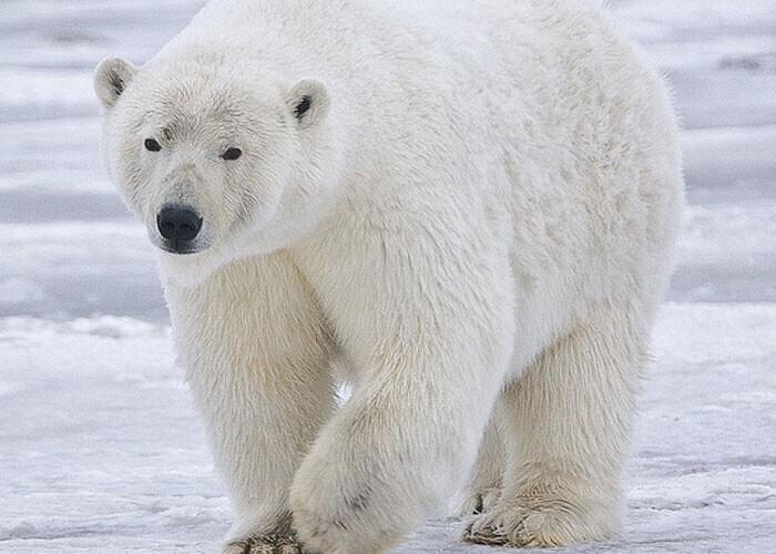 Из-за того, что большую часть жизни белые медведи проводят на морском льду, их классифицируют как морских млекопитающих