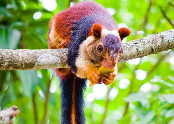 В Индии обитает вид гигантской белки с мехом различных оттенков оранжевого, бордового и фиолетового. Их длина составляет около 90 см от головы до хвоста