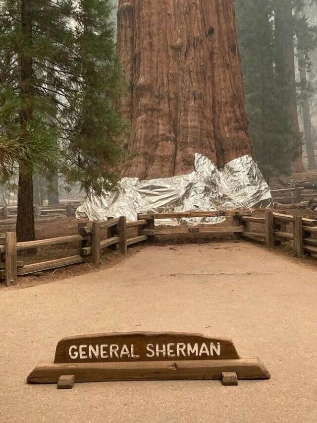 15. Самое большое в мире дерево, обернутое алюминиевой фольгой для защиты от пожара