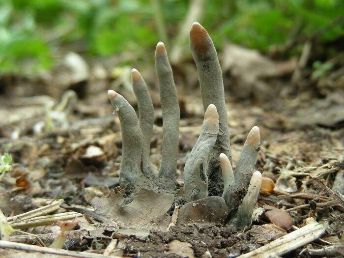 """5. Xylaria Polymorpha - это сапробный гриб, обычно известный как """"пальцы мертвеца"""""""