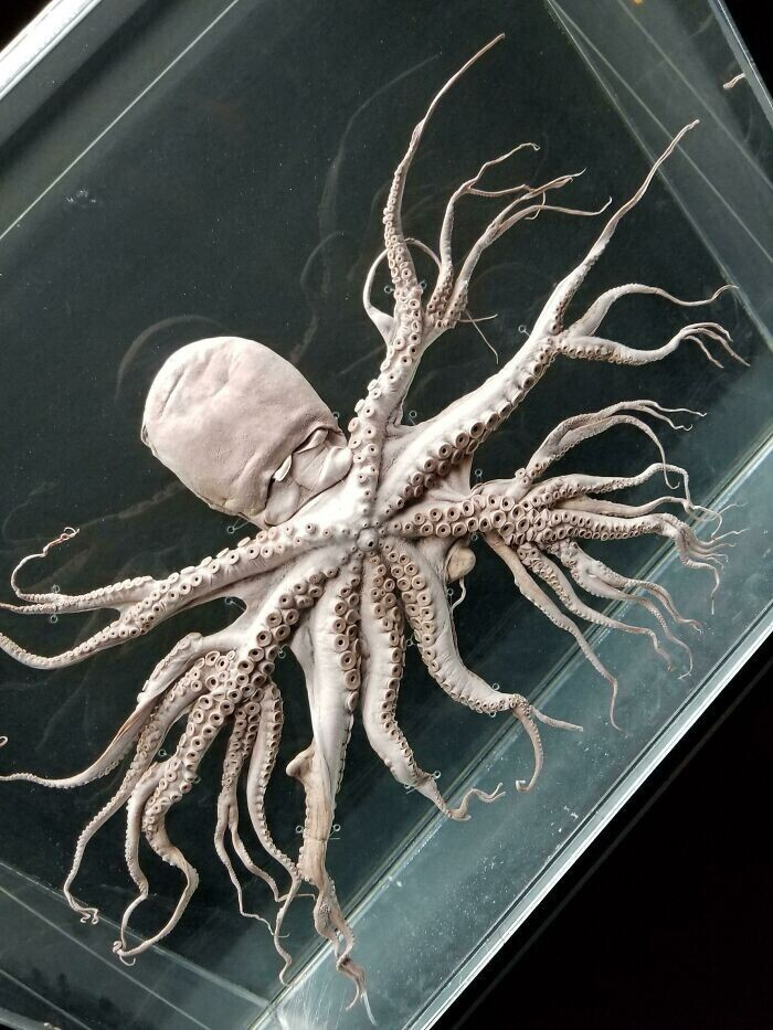 20. Редкая мутация, из-за которой щупальца осьминога разветвляются