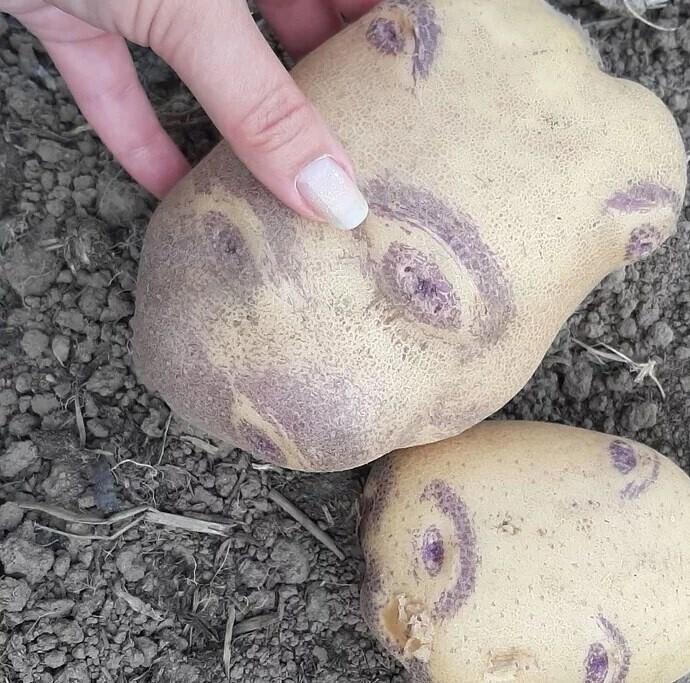 """11. Когда термин """"картофельные глазки"""" обретает новое значение"""