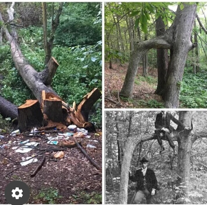 Вандалы уничтожили 150-летнее дерево