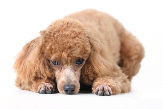 10 пород собак с невероятным интеллектом