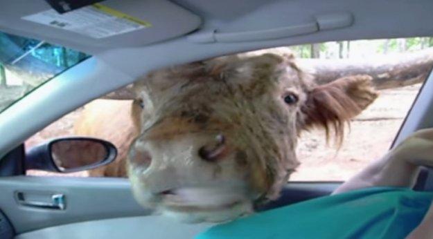 Корове дали соленый огурец и он ей пришелся по вкусу