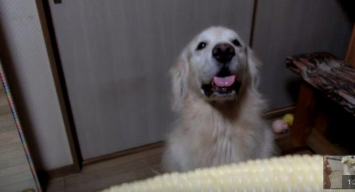 Нет ничего смешнее, чем наблюдать за тем, как этот милый пес жует кукурузу.